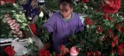 COLOMBIAN GROWER CUTS FLOWERS AHEAD OF VALENTINES DAY